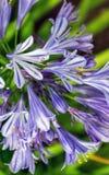Błękitny pasiasty agapanthus Obraz Royalty Free