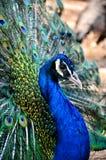 Błękitny paw Zdjęcie Royalty Free