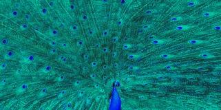 Błękitny paw zieleni ampuły piórko fotografia stock