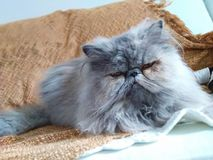 Błękitny perski kot śpiący obraz royalty free