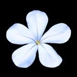 błękitny plumbago Zdjęcia Royalty Free