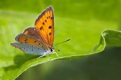 Błękitny pomarańczowy oskrzydlony motyl Polyommatus Icarus na zielonym liścia tle, makro- widoku płytka pole głębia Fotografia Stock