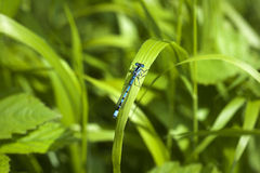błękitny pospolity cyathigerum damselfly enallagma Obrazy Royalty Free