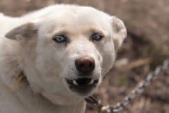 Błękitny przyglądający się alaski husky Zdjęcia Stock