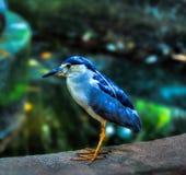 Błękitny ptak Zdjęcie Stock