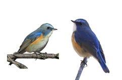Błękitny ptak w białym tle Zdjęcia Royalty Free
