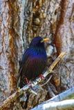 Błękitny ptasi drozd & x28; Myiophones coeruleus& x29; Zdjęcie Stock