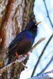 Błękitny ptasi drozd & x28; Myiophones coeruleus& x29; Obrazy Stock