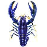 Błękitny rakowy lub homar, Procambarus alleni odosobniony, elektryczny błękitny rakowy, Floryda cray, akwareli ilustracja Zdjęcia Stock