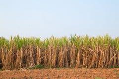 błękitny rośliny nieba trzcina cukrowa Obraz Stock