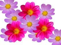 błękitny rumianków dekoracyjni kwiaty czerwoni Obrazy Stock
