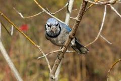 błękitny sójka Zdjęcie Royalty Free