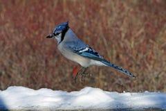 błękitny sójka Obrazy Royalty Free