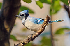 błękitny sójka zdjęcia stock