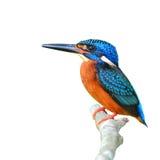 błękitny słyszący zimorodek Fotografia Stock