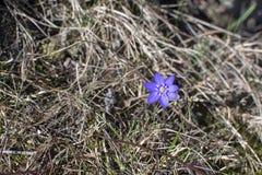 Błękitny springflower Hepatica zdjęcia stock