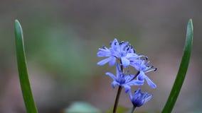 Błękitny squill kwitnie i pączki, cebulicy bifolia na pogodnym wiosna dniu, podatna natury roślina, ekstremum zamazujący tła wide zbiory