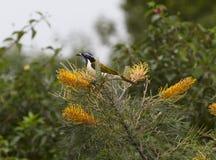 Błękitny stawiający czoło honeyeater biesiadowanie na kwiatonośnych grevillias Obrazy Royalty Free
