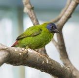 Błękitny Stawiający czoło Papuzi Finch zdjęcie stock