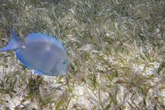 błękitny surgeonfish zdjęcie royalty free