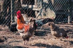 Błękitny szarość kurczak przy wiosny podwórzem i kogut obraz stock