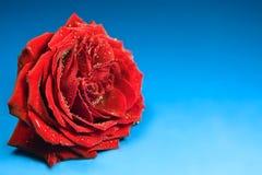 błękitny tło czerwień wzrastał Obrazy Royalty Free