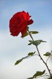 błękitny tło czerwień wzrastał Obraz Royalty Free