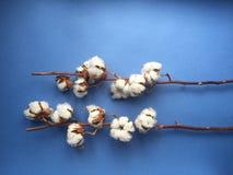 Błękitny tło z gałąź bawełniana roślina Zdjęcia Stock