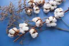 Błękitny tło z gałąź bawełniana roślina Obraz Royalty Free