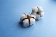 Błękitny tło z gałąź bawełniana roślina Zdjęcia Royalty Free