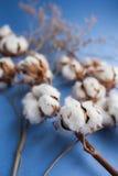 Błękitny tło z gałąź bawełniana roślina Zdjęcie Royalty Free