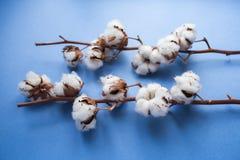 Błękitny tło z gałąź bawełniana roślina Obrazy Royalty Free