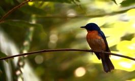 Błękitny Tickell's Flycatcher Zdjęcie Royalty Free