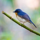 Błękitny Tickell's Flycatcher Zdjęcia Royalty Free