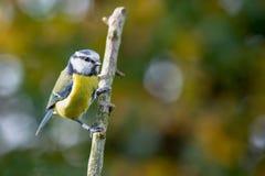 Błękitny Tit Cyanistes Caeruleus umieszczał na gałąź z jesieni bac zdjęcia stock