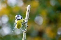 Błękitny Tit Cyanistes Caeruleus umieszczał na gałąź z jesieni bac zdjęcie royalty free