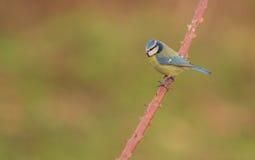 Błękitny Tit na Psiej roślinie obrazy stock