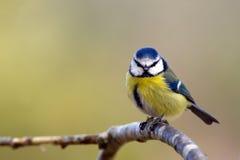 Błękitny Tit (Parus caeruleus) Obraz Royalty Free