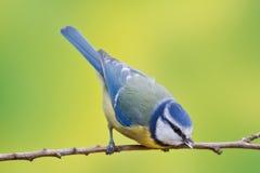 Błękitny tit, Parus caeruleus Zdjęcie Royalty Free
