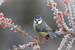 Błękitny tit, Parus caeruleus Fotografia Royalty Free