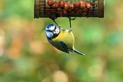 Błękitny Tit Przy Ogrodowym dozownikiem Zdjęcie Royalty Free