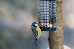 Błękitny Tit przy ptasim karmieniem Zdjęcie Royalty Free