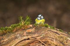 Błękitny tit siedzi na graund i je słonecznikowego ziarna fotografia royalty free