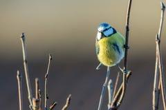 Błękitny tit w świetle słonecznym fotografia royalty free