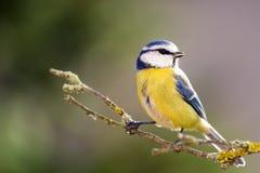 Błękitny tit w jesień lesie Fotografia Royalty Free
