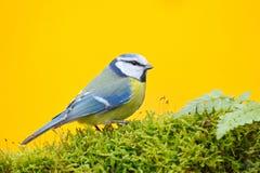 Błękitny tit w natury siedlisku, jesień Błękitny Tit, śliczny ptak śpiewający w jesieni, błękitny i żółty, ładna zielona mech gał Zdjęcia Royalty Free