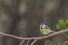 Błękitny tit w ogródzie Fotografia Stock