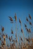 błękitny trzcinowy niebo Zdjęcia Stock