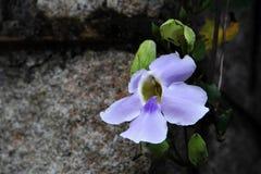 Błękitny Tubowy winograd Zdjęcie Stock