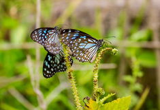 Błękitny tygrys Obraz Royalty Free